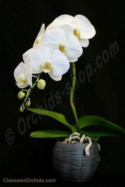 Phalaenopsis Formidablo No.9 (Big Flower) ( Met keramiek grijze pot )