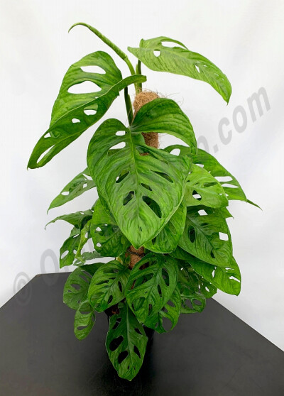 "Monstera ""Monkey Mask"" ""Big Plant"" (Met Mosstok)"