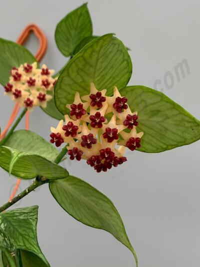 Hoya Polyneura (Fish-Tail Hoya) Big Plant