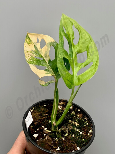Monstera adansonii variegated aurea nr 5 (blad stek,Leaf cutting, with roots and the first new leaf)