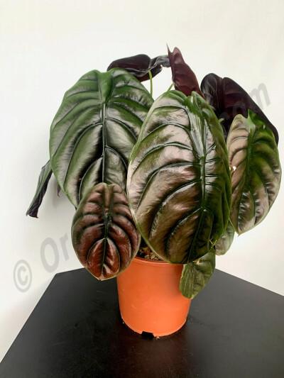 """Alocasia cuprea ''Red Dragon'' """"Big Plant"""""""