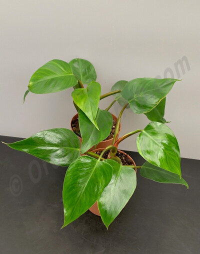 Philodendron Green Princess '' 4 a 5 leaves''