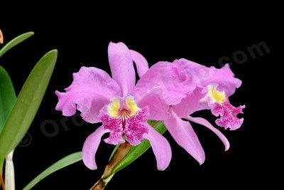 "Cattleya lueddemanniana ""Big"""
