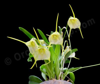Masdevallia impostor × Masdevallia tonduzii
