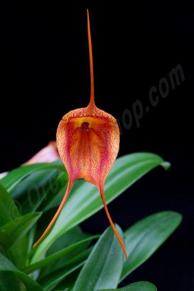 Masdevallia veitchiana x Masdevallia glandulosa