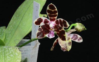 Phalaenopsis Corie