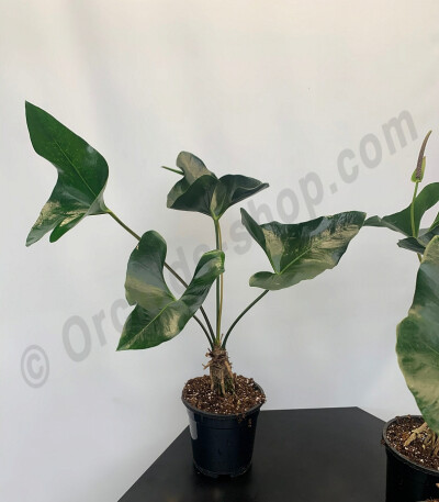 Anthurium Arrow