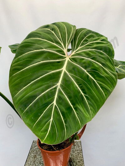 Philodendron gloriosum var giantea (Big Trunk)