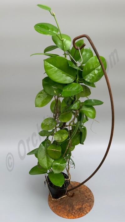 "Hoya australis ""Big Plant''"