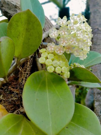"""Hoya Pachyclada ''White""""Big Leaves"""