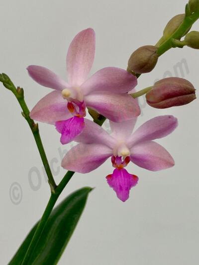Phalaenopsis. mariae x pulcherrima