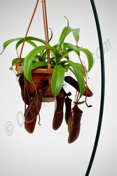 Nepenthes Bill Bailey, Black Monkey Jars