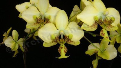 "Phalaenopsis stuartiana var. nobilis x Phalaenopsis stuartiana ""Yellow"""