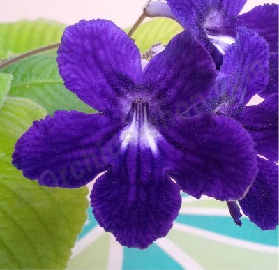 Streptocarpus hybrid 'Anderson's Crows' Wings'