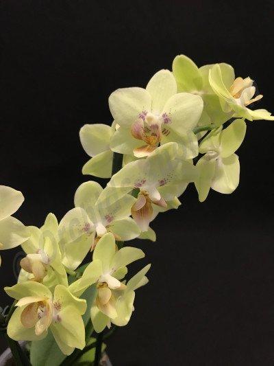 Phalaenopsis Sunshine GR913