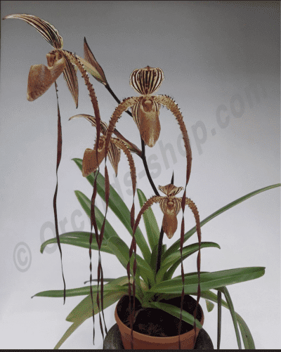 Paphiopedilum Bishop Francis Christian ( Lady Isabele x Booth's Sand Lady)