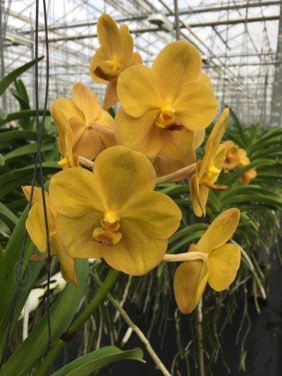 Ascocenda Jukkich Yellow