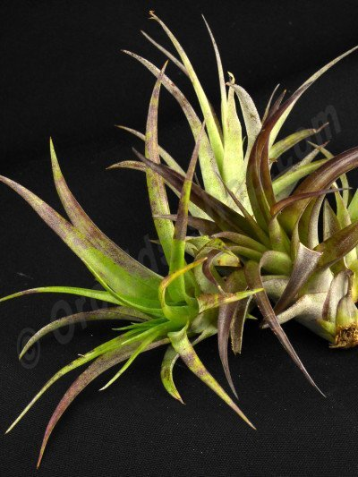 Tillandsia multiflora