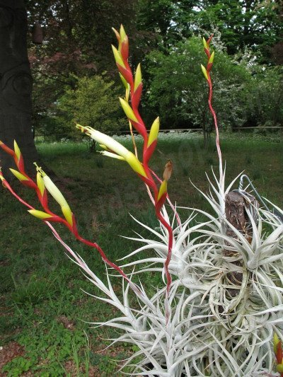Tillandsia albida Small