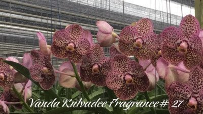 Vanda Kulvadee Fragrance