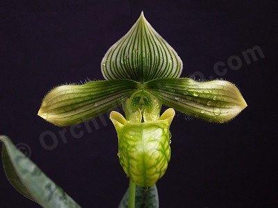 """Paphiopedilum venustum """"alba"""""""