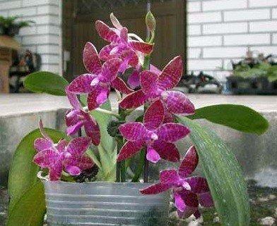 """Phalaenopsis lueddemanniana """"Big"""""""