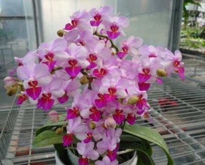 "Phalaenopsis Liu's Berry ""Orch House"" ""Big Compact Plant"""