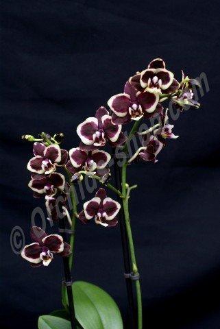 Phalaenopsis Brown Sugar 4 N
