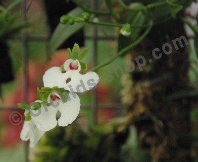 Oenia oncidiflora