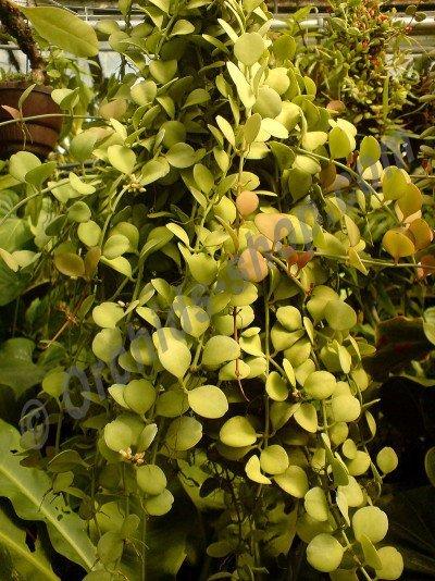 Dischidia bengalensis