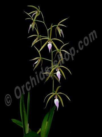 Encyclia brassavolae