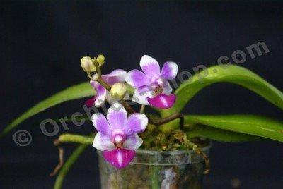 "Doritaenopsis Anna Larati ""Soekardi"""