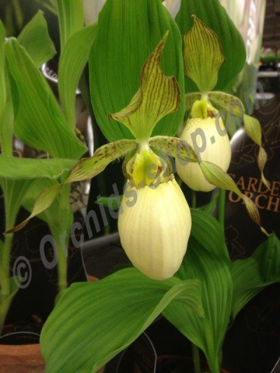 Cypripedium Kentucky Maxi