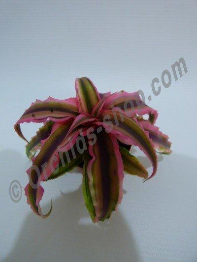 "Cryptanthus bivittatus ""Green/Pink"""