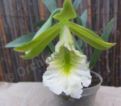 Encyclia mariae x citrina