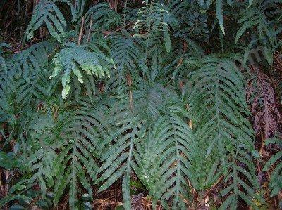 Phlebodium aureum mandaianum