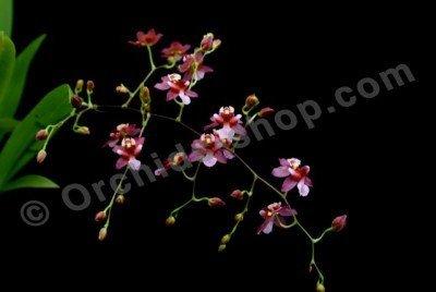 Oncidium Twinkle Chian Tzy Delight
