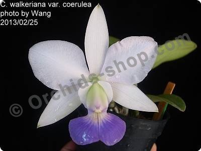"Cattleya walkeriana White ""Blue Lip"""