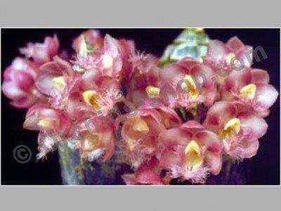 Clowesia Jumbo Grace
