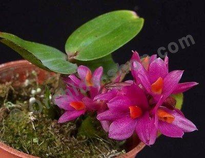 "Dendrobium Hibiki ""Sandra`s Delight"" CCE/AOS"