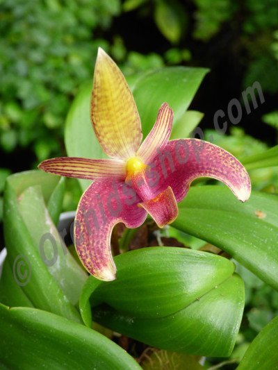Bulbophyllum dearei x lobbi