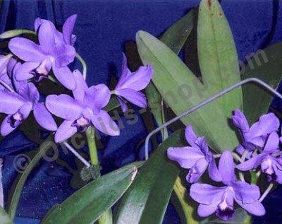 Cattleya bowringiana coerulea
