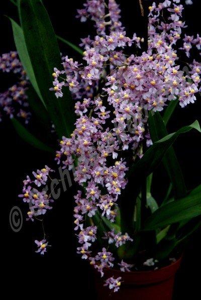 Oncidium ornithorhynchum 'Big' (sotoanum)