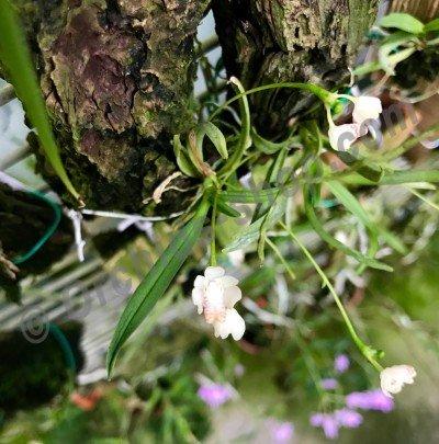 Thrixspermum formosanum