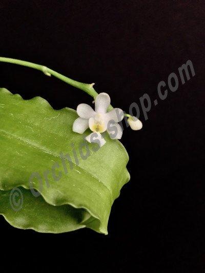 Phalaenopsis deliciosa var. alba