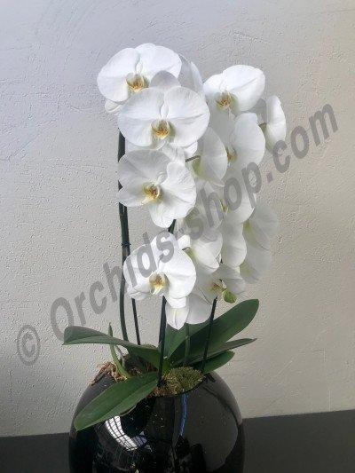 Phalaenopsis nr. 223