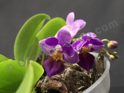 Phalaenopsis appendiculata x equestris