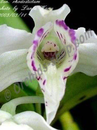 Dendrobium rhodostictum