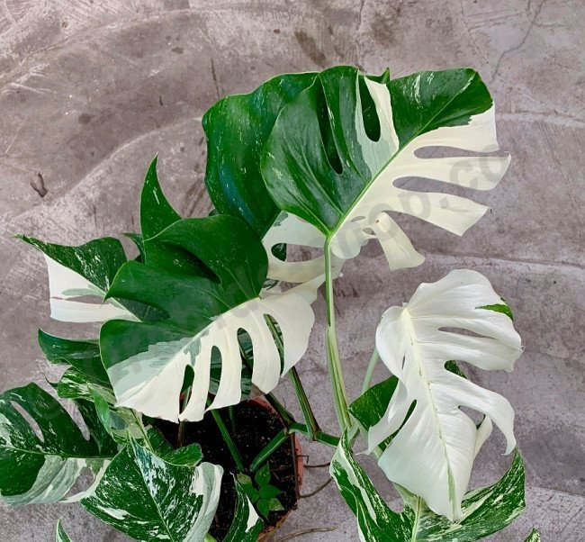 Monstera Variegata (limited selection Half Green, Half