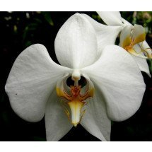 phalaenopsis amabilis var palawan